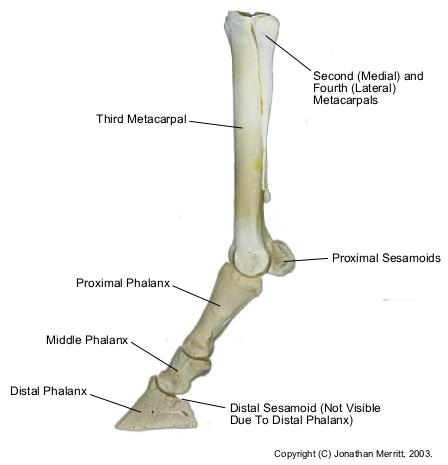 Equine-dist-forelimb-bones