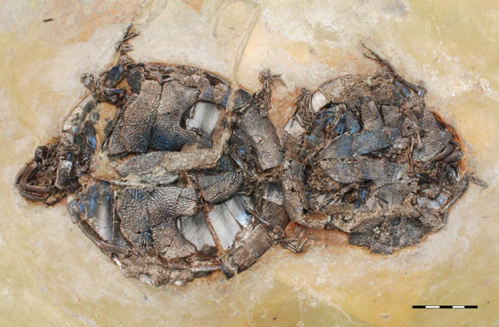 Coitus Interruptus en el Eoceno. Estas tortugas murieron mientras su piel iba absorbiendo sustancias tóxicas a través de la piel llegadas al agua porque seguramente estaban en un lago de origen volcánico. Walter G. Joyce, Norbert Micklich, Stephan F. K. Schaal, Torsten M. Scheyer.