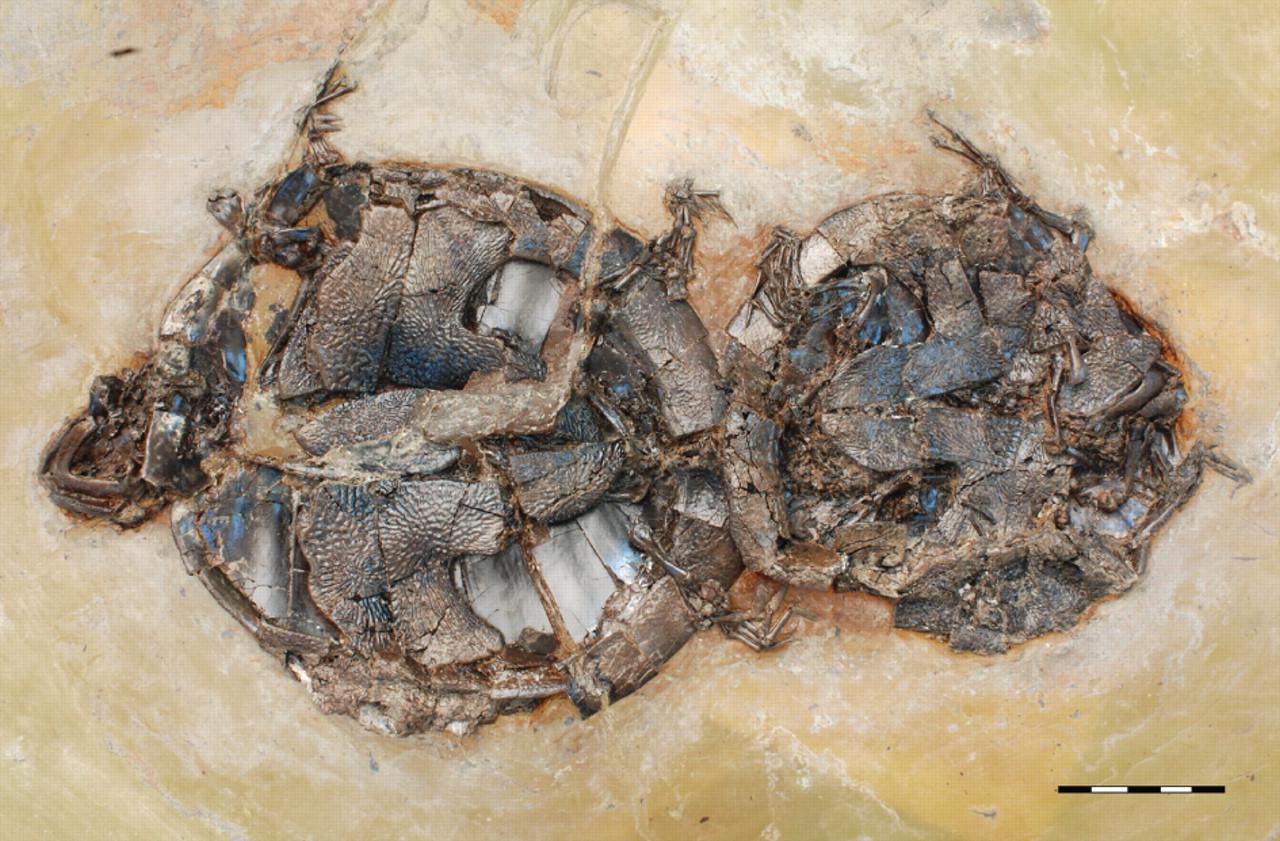 Coitus Interruptus en el Eoceno. Estas tortugas murieron mientras su piel iba absorviendo sustancias tóxicas a través de la piel llegadas al agua porque seguramente estaban en un lago de origen volcánico. Walter G. Joyce, Norbert Micklich, Stephan F. K. Schaal, Torsten M. Scheyer.