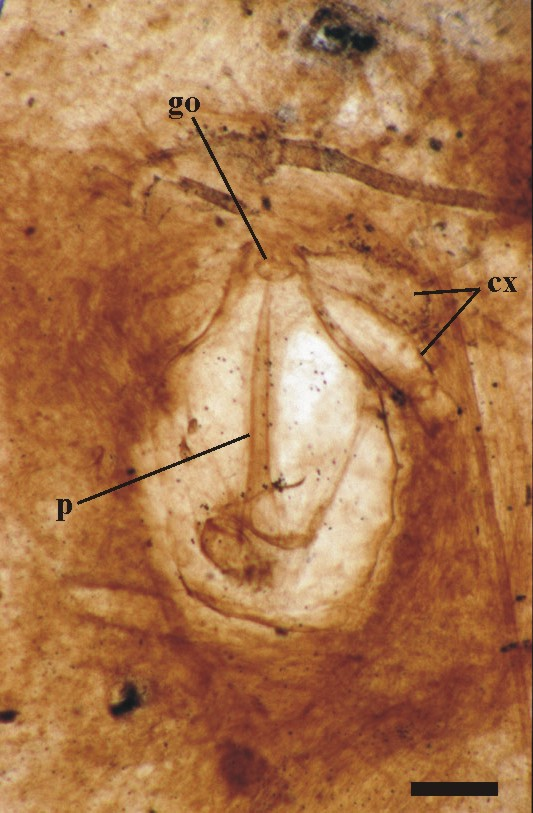 La p es de pene. Es el arácnido fósil de Rhynie Chert que dejó su miembro fósil para la contemplación a lo largo del tiempo geológico. Jason A. Dunlop, Lyall I. Anderson, Hans Kerp & Hagen Haas, Transactions of the Royal Society of Edinburgh: Earth Sciences.