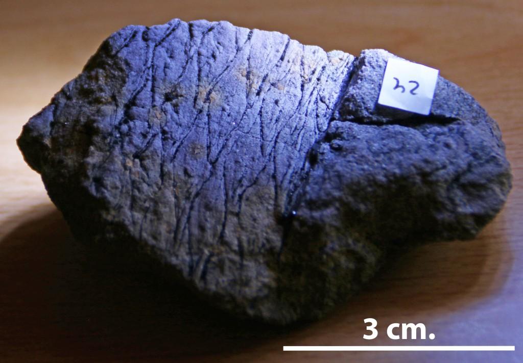 fossil de Lepidodendron du Carbonifère de la province de Cordoue.