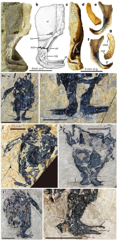 Microbachius dicki, el placodermo cuyos pterigopodios fueron descubiertos en estado fósil (y que en la imagen se detallan como cls).  Nature.