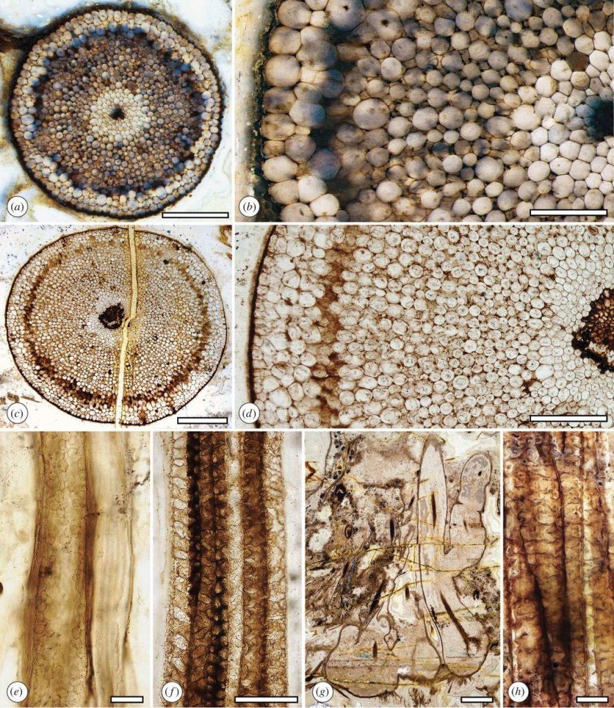 Preservación de tejidos celulares en el Devónico inferior. Extraído de Kerp et al. (2017)
